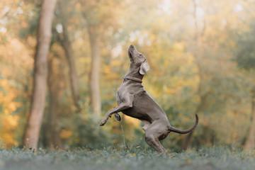 weimaraner dog in a collar jumping up outdoors