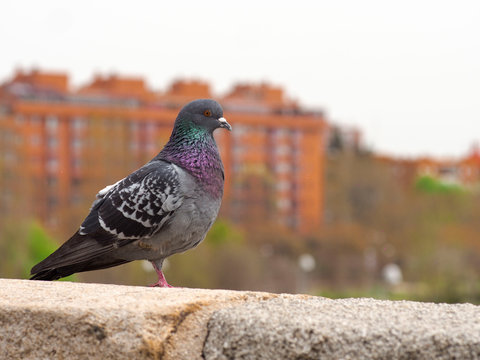 images of a dark pigeon with a single leg. backgroud of Madrid rio park