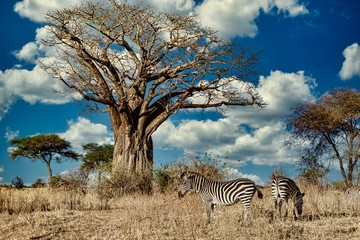Canvas Prints Zebra Field covered in greenery surrounded by zebras under the sunlight and a blue sky