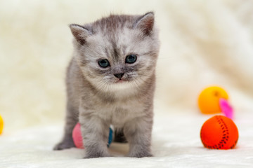Gray smoky British kitten stands in front of the camera next to toy balls