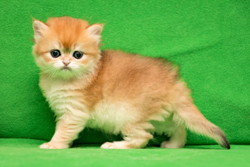 One-month kitten of British breed of Golden color