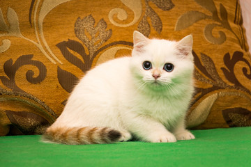 Golden point a British kitten with blue eyes