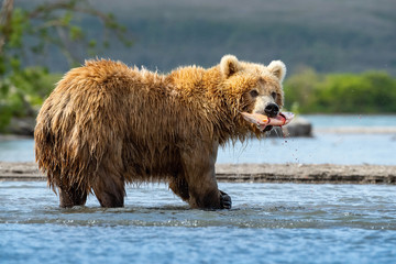TheKamchatkabrownbear, Ursus arctos beringianus catches salmons at Kuril Lake in Kamchatka, in the water
