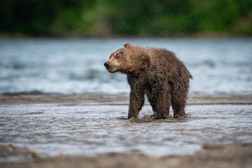 Theyoung Kamchatkabrownbear, Ursus arctos beringianus catches salmons at Kuril Lake in Kamchatka, running and playing in the water, action picture