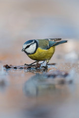 The Eurasian Blue Tit, Cyanistes caeruleus is sitting in color environment of wildlife, on the frozen water