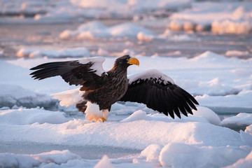 The Steller's sea eagle, Haliaeetus pelagicus  The bird is perched on the iceberg in the sea during winter Japan Hokkaido Wildlife scene from Asia nature. came from Kamtchatka..