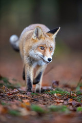 Red fox, Vulpes vulpes The mammal is running in the dark forest Europe Czech Republic Wildlife scene from Europe nature. young male