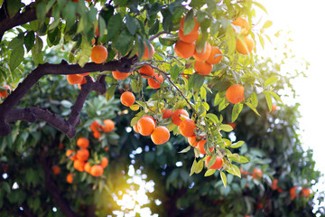 Orange tree with ripe fruits. Tangerine. Branch of fresh ripe oranges with leaves in sun beams. Satsuma tree picture. Citrus Fotomurales