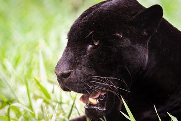 Wall Murals Panther Black Jaguar / Black Panther / Pantera Negra / Onça Pintada (Panthera onca)