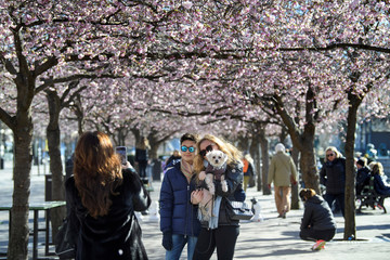 People pose for a picture among blooming cherry trees in Kungstradgarden park, amidst the coronavirus disease (COVID-19) pandemic in Stockholm