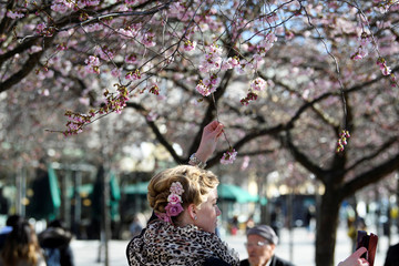 A woman takes a selfie among blooming cherry trees in Kungstradgarden park, amidst the coronavirus disease (COVID-19) pandemic in Stockholm