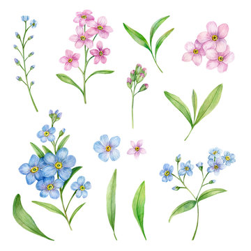 Watercolor Hand Drawn Botanical Illustration with Blue and Pink Forget-Me-Nots Flowers. Hand Drawn Elements For Greeting and Invitation Cards Isolated on a White Background.