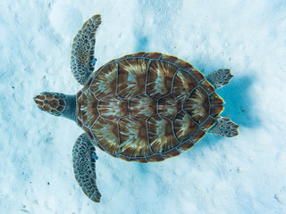 Foto op Plexiglas Schildpad Green sea turtle swimming above white sandy ocean floor