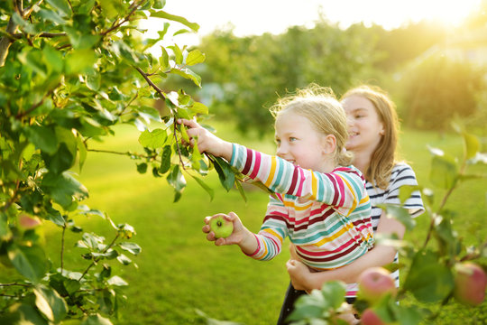 Cute young girls harvesting apples in apple tree orchard in summer day. Children picking fruits in a garden. Fresh healthy food for small kids.