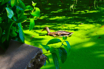 The Arboretum Lagoon single duck swimming in a green water surrounded by lush green leaves Wall mural