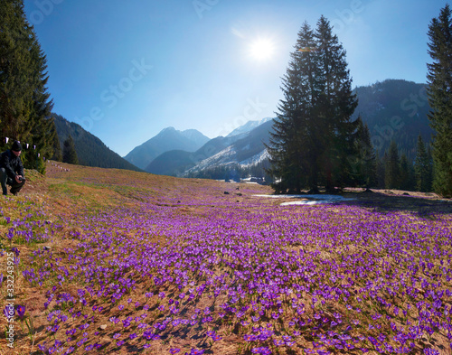 Wall mural Crocuses in the Tatra Valley