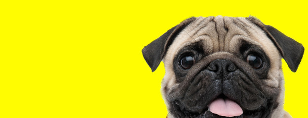 Poster Chien pug dog looking at camera with tongue out happy