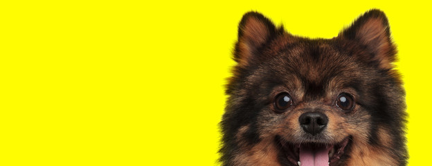 spitz dog with brown fur sticking out tongue happy