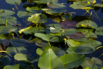 Canvas Prints Water lilies Water lilies floating on a pond surface