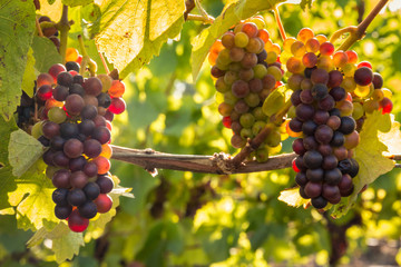 Poster Vineyard bunches of backlit Pinot Noir grapes ripening in organic vineyard