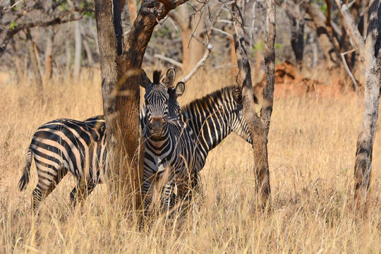 Zebras, grazing, at the conservation park of Lilayi Lodge, not far from Lusaka, in Zambia.
