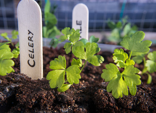 Celery seedlings with wooden name tag. (Apium graveolens) Close up. Multiple true leaves on each celery plant.  Soft background with kale and pea seedlings. Self sufficient small roof top garden.
