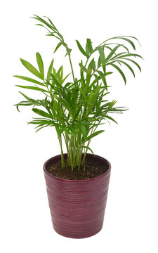 Palm chamaedorea in a pot isolated on white background