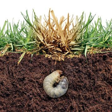 Grass Grub Damage