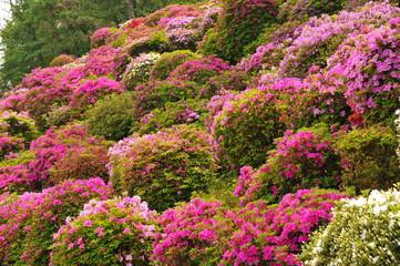 Keuken foto achterwand Azalea 蹴上浄水場の色とりどりのツツジの花々です