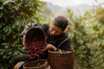 Asian woman farmer harvest arabica cherry coffee in coffee farm at Ban Pang Khon the northern of Chiang Rai, Thailand. Fotomurales