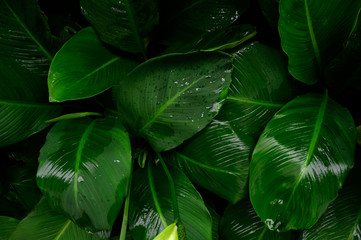 Wall Mural - Foliage in dark green pattern with rain water drop. Top view shot of tropical leaf. Abstract nature background of green environment concept.