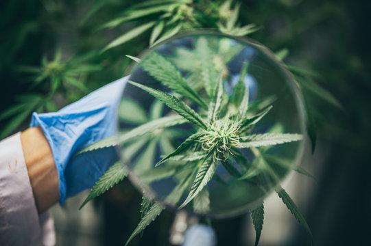 Bush Flowering herb hemp with seeds and flowers. Concept breeding of marijuana, cannabis, legalization.