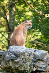 Wall Mural - European lynx sitting on a rock