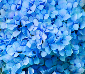 Spoed Fotobehang Hydrangea Blue hydrangea flowers close up