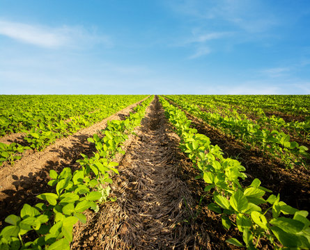 Agricultural soy planting on a huge field. Green growing soybeans plant against blue sky.