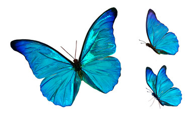 Set of four beautiful blue butterflies Cymothoe excelsa isolated on white background. Butterfly Nymphalidae with spread wings and in flight.