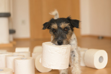 Cute little Jack Russell Terrier dog is busy with toilet paper.