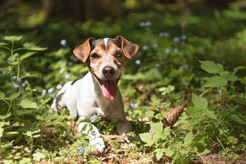 little Jack Russell Terrier dog lies happily smiling among flowers in the forest.