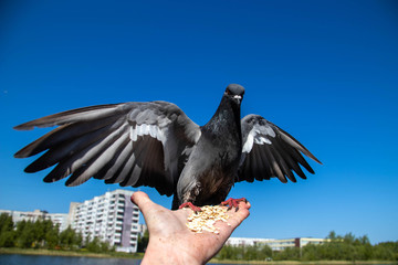 City pigeons. Feeding from your hand. Severodvinsk, Sunny summer day.