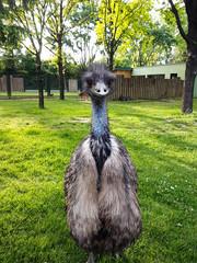 Zelfklevend Fotobehang Struisvogel bird, animal, emu, ostrich, nature, rhea, llama, grass, wildlife, wild, zoo, beak, head, flightless, alpaca, neck, farm,, green, eye, portrait, greater, large, peacock, zoo