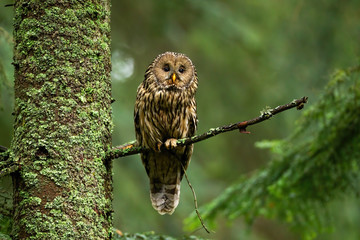 Papiers peints Chouette Attentive tawny owl, strix aluco, looking to camera in summer forest on green background with copy space. Alert wild bird sitting on branch from front view. Animal wildlife in nature.