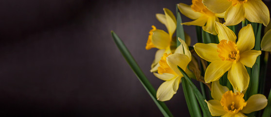 Fotorolgordijn Narcis Bouquet of yellow daffodils on black background. Spring blooming yellow flowers green leaves, Easter greeting card, holidays website banner low key modern style. Dark and moody nature closeup header.