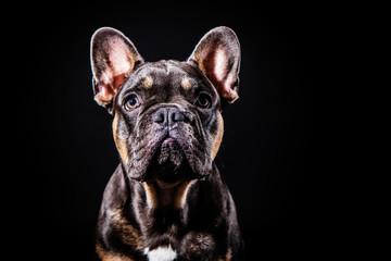 Photo sur Aluminium Bouledogue français french bulldog pup pooch portrait
