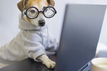 Smart dog in glasses working with computer. Wearing sporty stylish hoodie. Freelancer work from home during quarantine Social distancing lifestyle. Stay at home. Horizontal photo. Funny pet theme