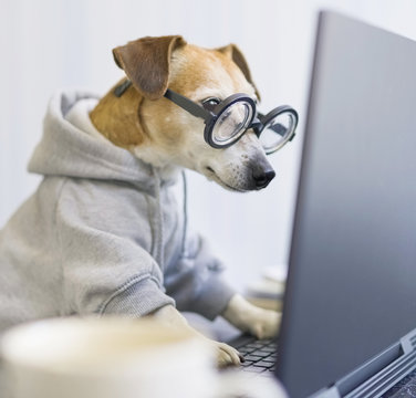 Adorable dog staring computer screen.  concentrated focused attentive scrupulous nerd work. Shocked confused by information. Freelancer work from home during quarantine Social distancing busy. square