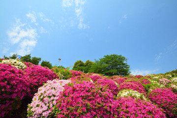 Photo sur Aluminium Azalea ツツジと青空
