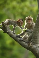 Printed roller blinds Monkey Monkey