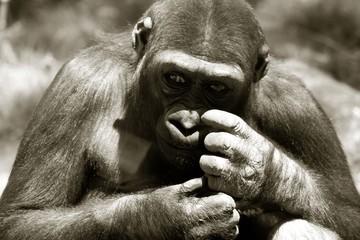 Acrylic Prints Monkey gorilla