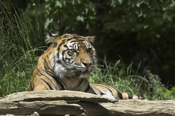 Photo on textile frame Tiger tiger in zoo