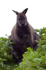 Foto auf Leinwand Kanguru goat on green grass